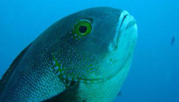oudste vis