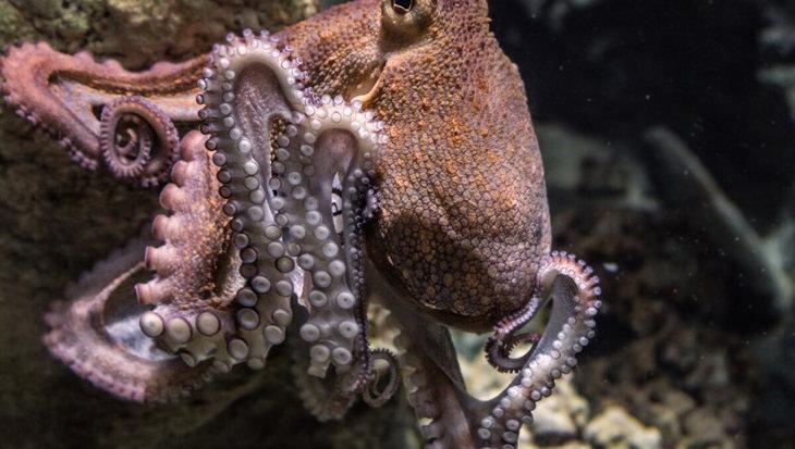 Octopus deelt rake klappen uit aan vissen