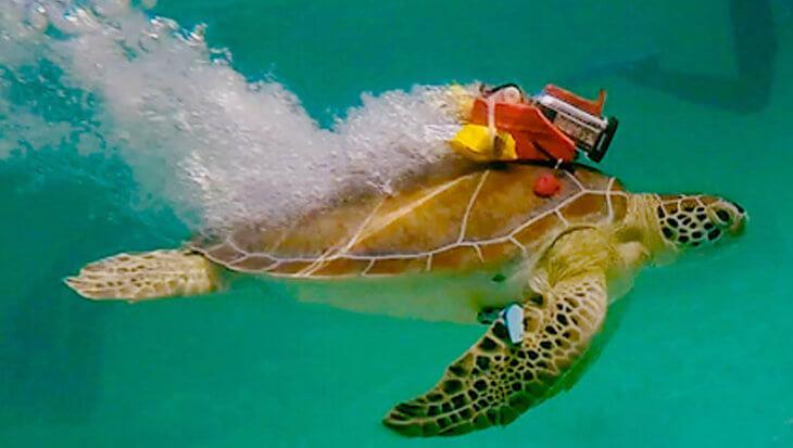 Gesnapt! Toeristen maken zeeschildpadden agressief door ze te voeren