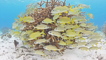 Tuinieren onder water met Reef Renewal Foundation Bonaire