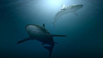 Ook haaien gebruiken het aardmagnetisch veld om hun weg op zee te vinden