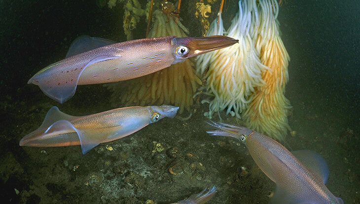 Pijlsnelle inktvis, pijlinktvis in Zeeland