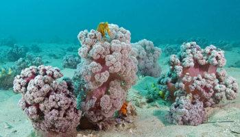 bloemkool-achtig koraal
