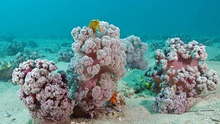 Bloemkool-achtig koraal dreigt het onderspit te delven