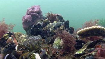 Kwetsbaar schelpdierrif bij Schiermonnikoog bedreigd door geplande aardgaswinning