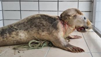 Zwaargewonde jonge zeehond opgevangen, dier verstrikt in een net