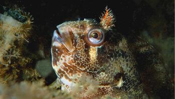 De slijmvis: Zeeuws lachebekje