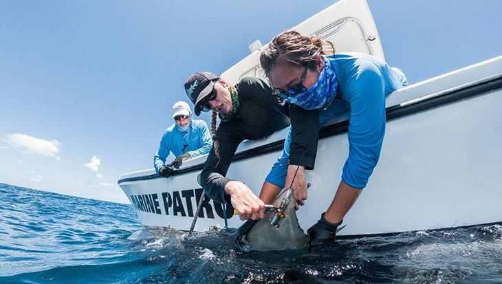 Uniek onderzoek naar tijgerhaaien bij Saba benadrukt noodzaak bescherming