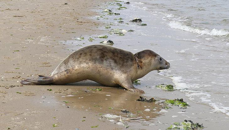 Zeehond Nylon weer terug in de Waddenzee