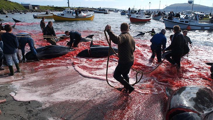Schokkend: 1400 dolfijnen gedood op Faeröer-eilanden
