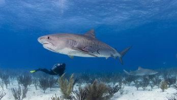 Tijgerhaaien in de Rode Zee